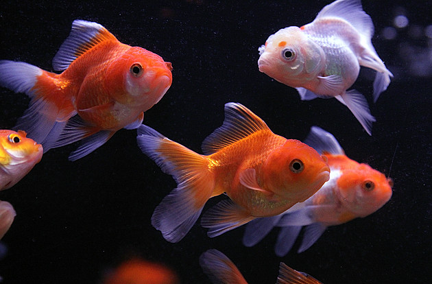 San Francisco Animal Rights Group Proposes Ban On Goldfish Sales