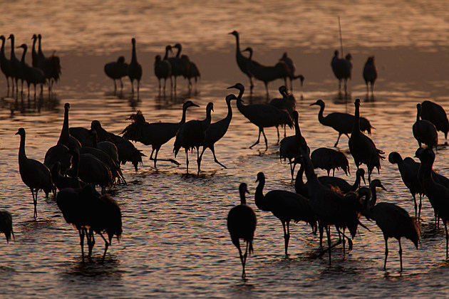 Cranes Break Their Migration South With Israel Stopover